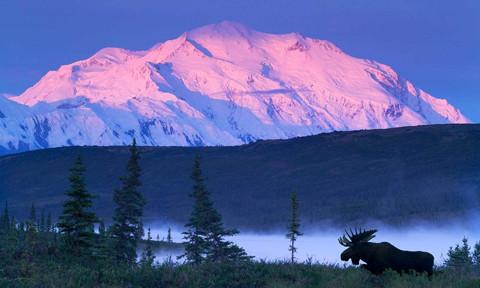 Bull Moose Grazing In Early Morning Near Wonder Lake W/Alpenglow On Mt Mckinley Denali Nat Park Composite